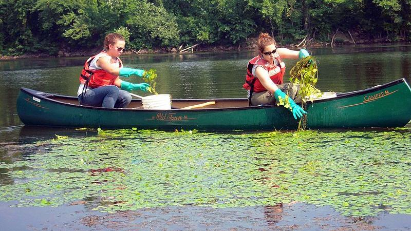 Volunteers removing water chestnut by canoe