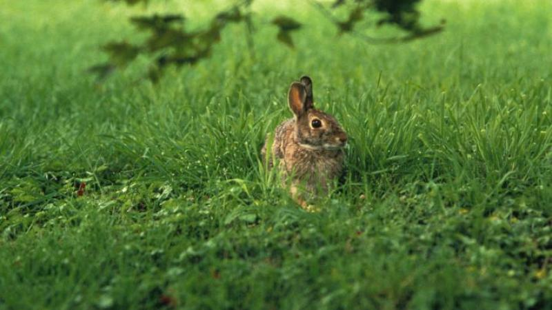 Eastern Cottontail Rabbit in Field