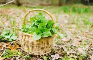 Garlic mustard in picnic basket