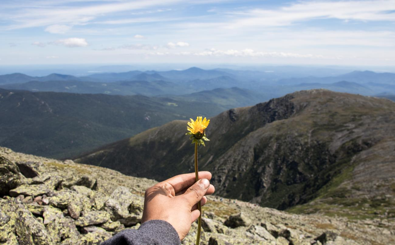 dandelion on mt washington