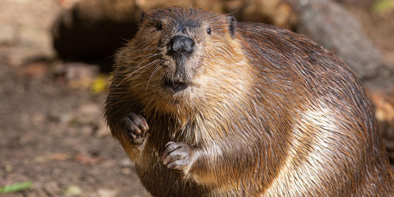 Beaver Photo (From Smithsonian)