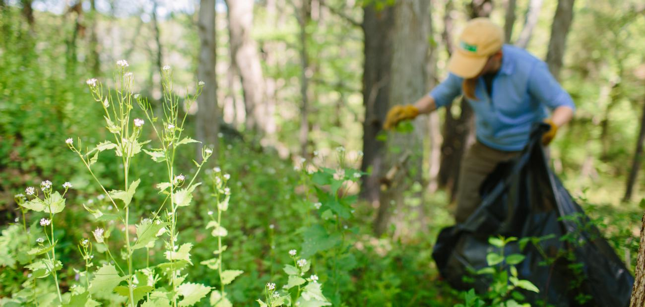 volunteer pulling garlic mustard