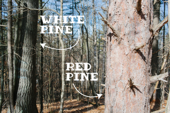 red pine next to a white pine