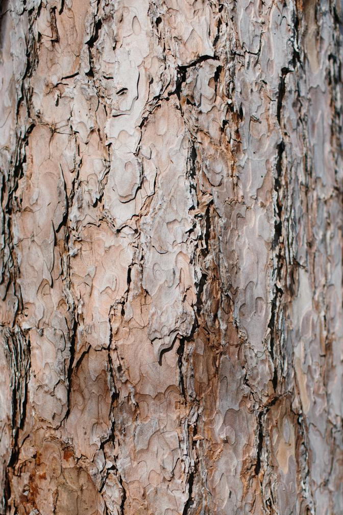 mature red pine bark