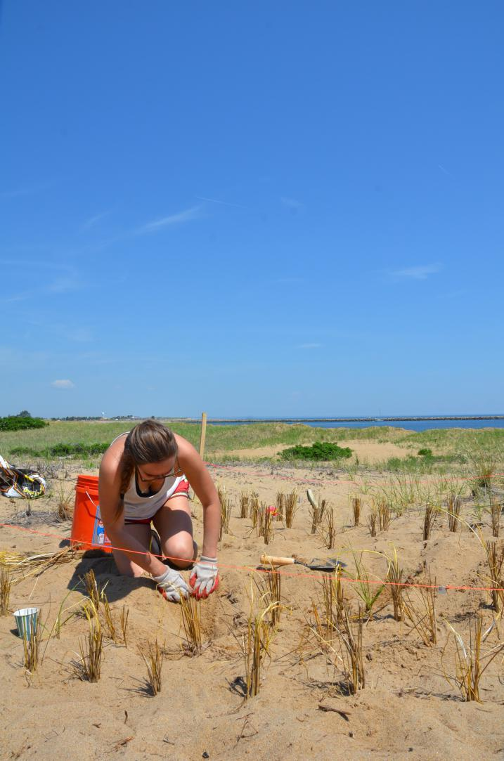 Beach grass plantings