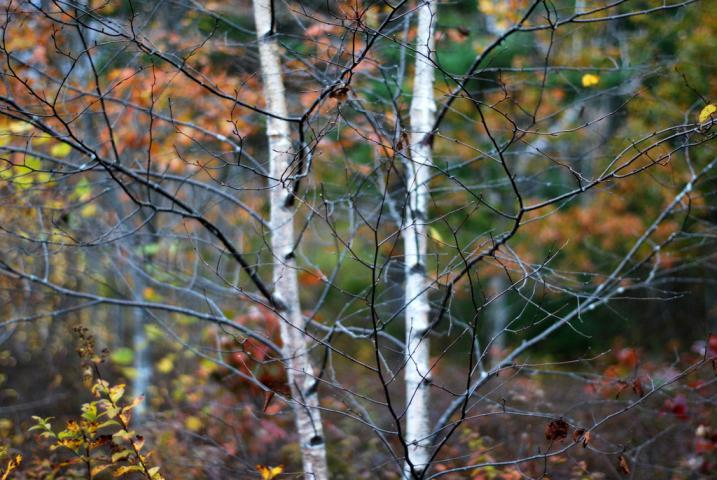 birch tree in fall