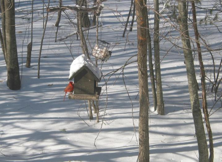Cardinal and downy woodpecker at backyard feeder