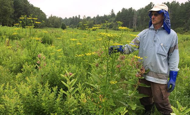 Mike Bald and Wild Parsnip in the Field