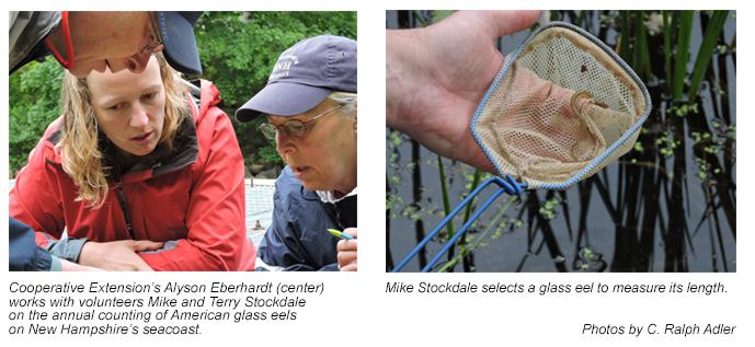 Counting glass eels