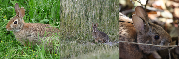Cottontail and other rabbit photos three across