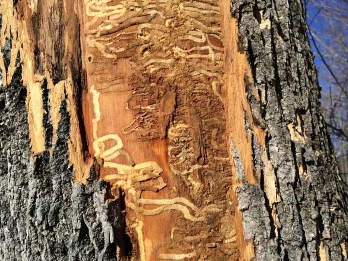 Emerald ash borer larvae s-shaped feeding galleries filled with sawdust