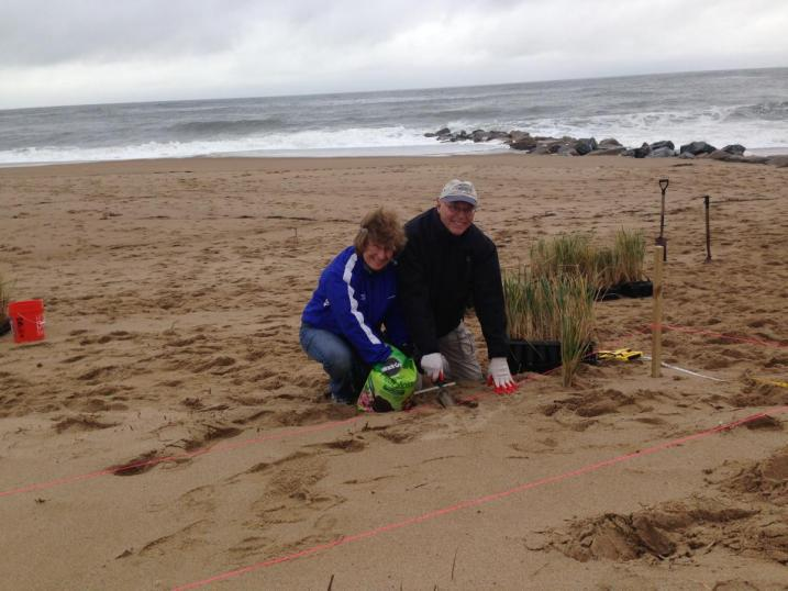 volunteers planting beachgrass