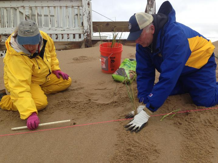Volunteers plant beachgrass on Plum Island