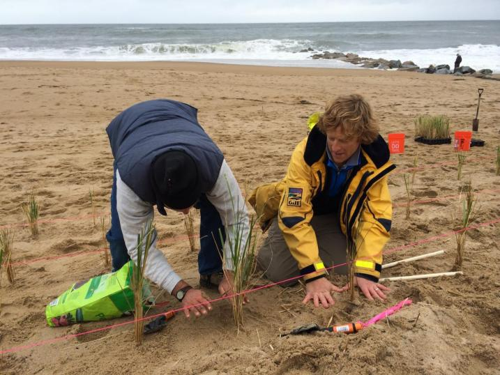 UNH Professors Drs. Dave Burdick and Gregg Moore plant beachgrass on Plum Island