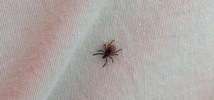 female blacklegged tick