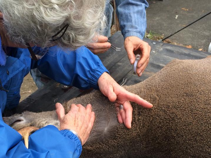 Volunteers looking for ticks on a deer