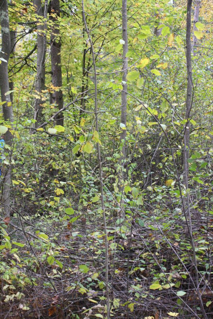 Buckthorn Tangle in College Woods