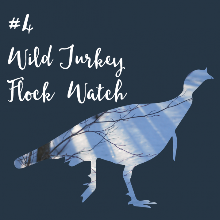 #4 Wild Turkey Flock Survey