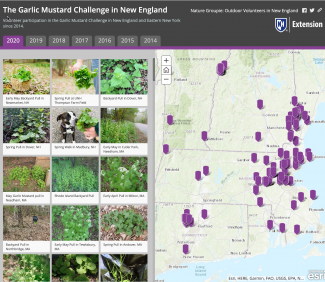 Story Map of Garlic Mustard pulled in New England