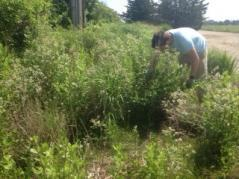 Tomas pulling pepperweed