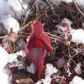 Pitcher plant blooming through snow