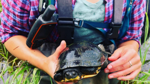 Captured Blanding's turtle